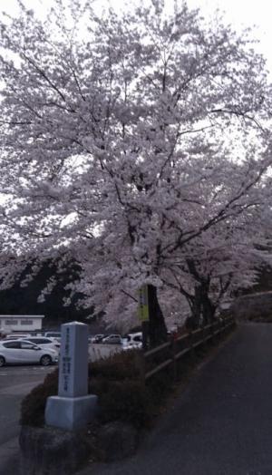 Sakura2019g
